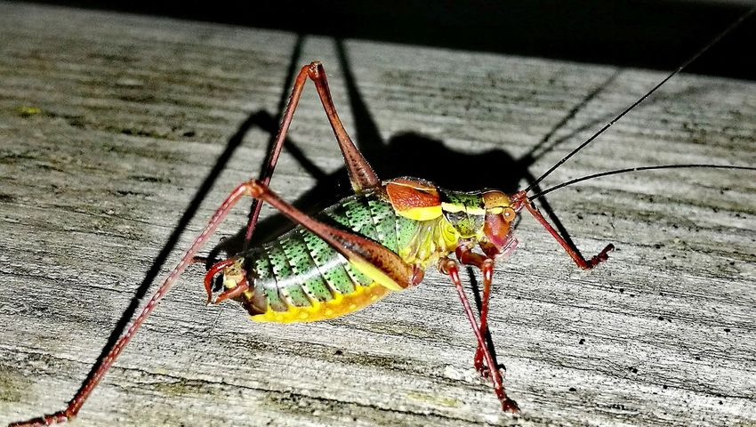 No People Outdoors Grashopper Grashüpfer Animals Coulors Nature Photography Naturephotography Animal Wildlife Reptile Dark EyeEm Nature Lover Check This Out Few Tiere Nacht Nature Animals In The Wild Farbenfroh EyeEm Gallery Eyeemphotography