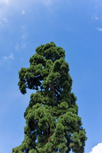 Big green Tree in front of a blue sky Perspective Outdoor Nature Green Color Trees And Sky Trees Growth Growing Needles Freshness Spring Plants Landscape Close-up Background Pine Tree Fir Tree Blue Sky No People Chlorophyll Blooming Tranquility High Idyllic Low Angle View