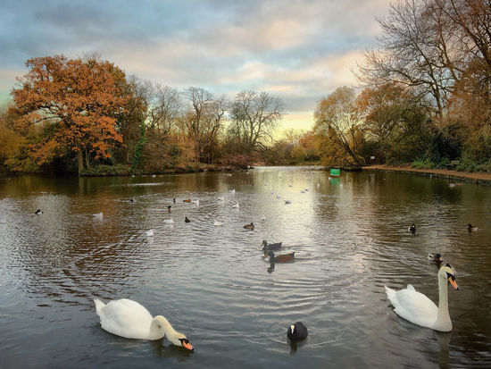 Showcase: December 15:31pm 4th Dec 2015 Winters in London can be dull, gray and depressing, but if you look closely you see beauty. Tooting Swan Lake Wildlife City Life Here Belongs To Me
