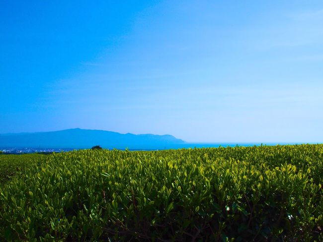 Green tea plantations and the sea far away. Sky Blue Sky Fineday Green Green Leaves Landscape Landscape_photography Landscape Photography Japan Hello World Olympus M.ZUIKO DIGITAL