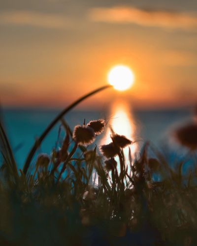 Close-up of flowers on beach against sky during sunset