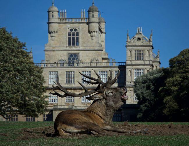 Deer Wollaton