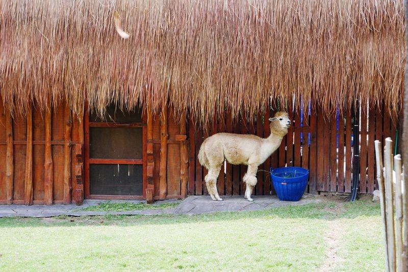 alpaca under the roof Roof Grass Green EyeEm Nature Lover EyeEm Selects Animal Straw EyeEm Best Shots Traveling Traveller Llama Tree Alpaca Farmland Grassland Grass Area