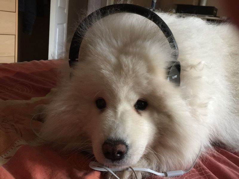 Cute Dogs FUNNY ANIMALS Music Cute Animals Relax Samoyed Dog Dog❤ Relaxing Dog