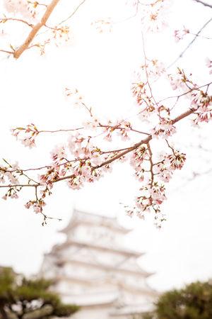 Architecture Branch Built Structure Castle Cherry Blossoms Day Flower Flowers Fragility Hanami Himeji Historical Building Japan Photography Japanese Castle Leak No People Pink Sakura Spring Sunshine Travel Destinations Tree Tree