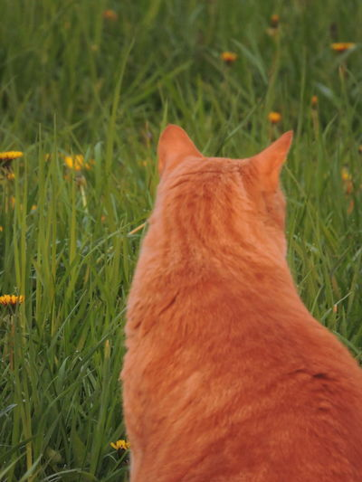 Domestic Pets One Animal Domestic Animals Animal Themes Animal Mammal Cat Feline Domestic Cat Grass Plant Vertebrate Field No People Nature Orange Color Land Green Color Day Ginger Cat Whisker