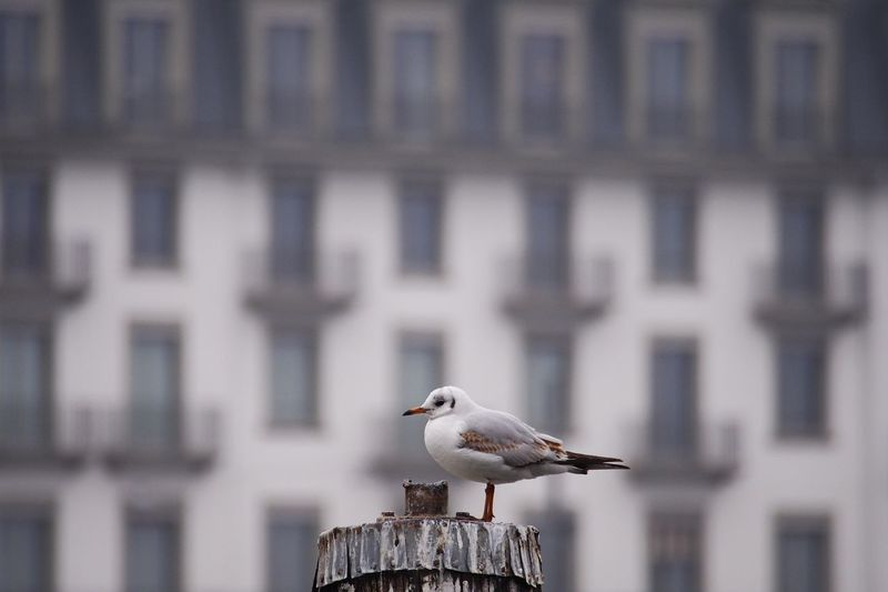 Close-up of seagull perching on wooden post against building