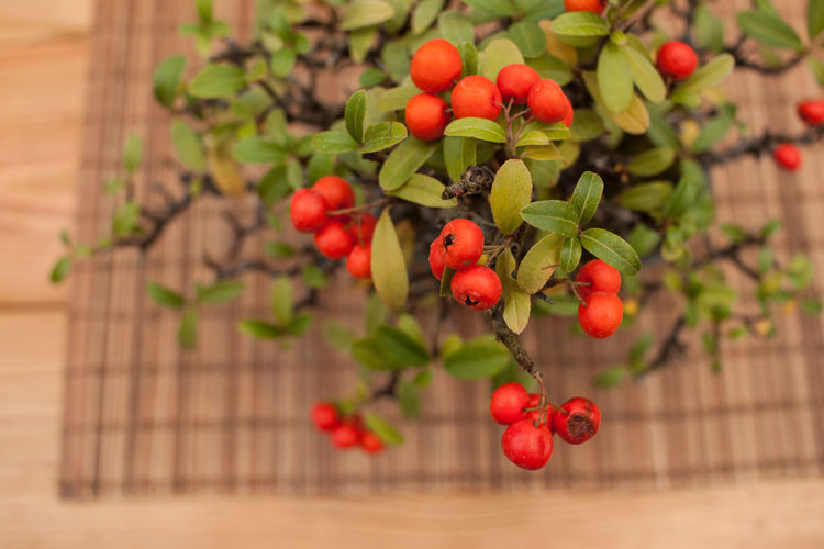 Bonsai Bonsai Tree Branch Close-up Day Food Freshness Fruit Green Color Growth Nature No People Outdoors Red Tree