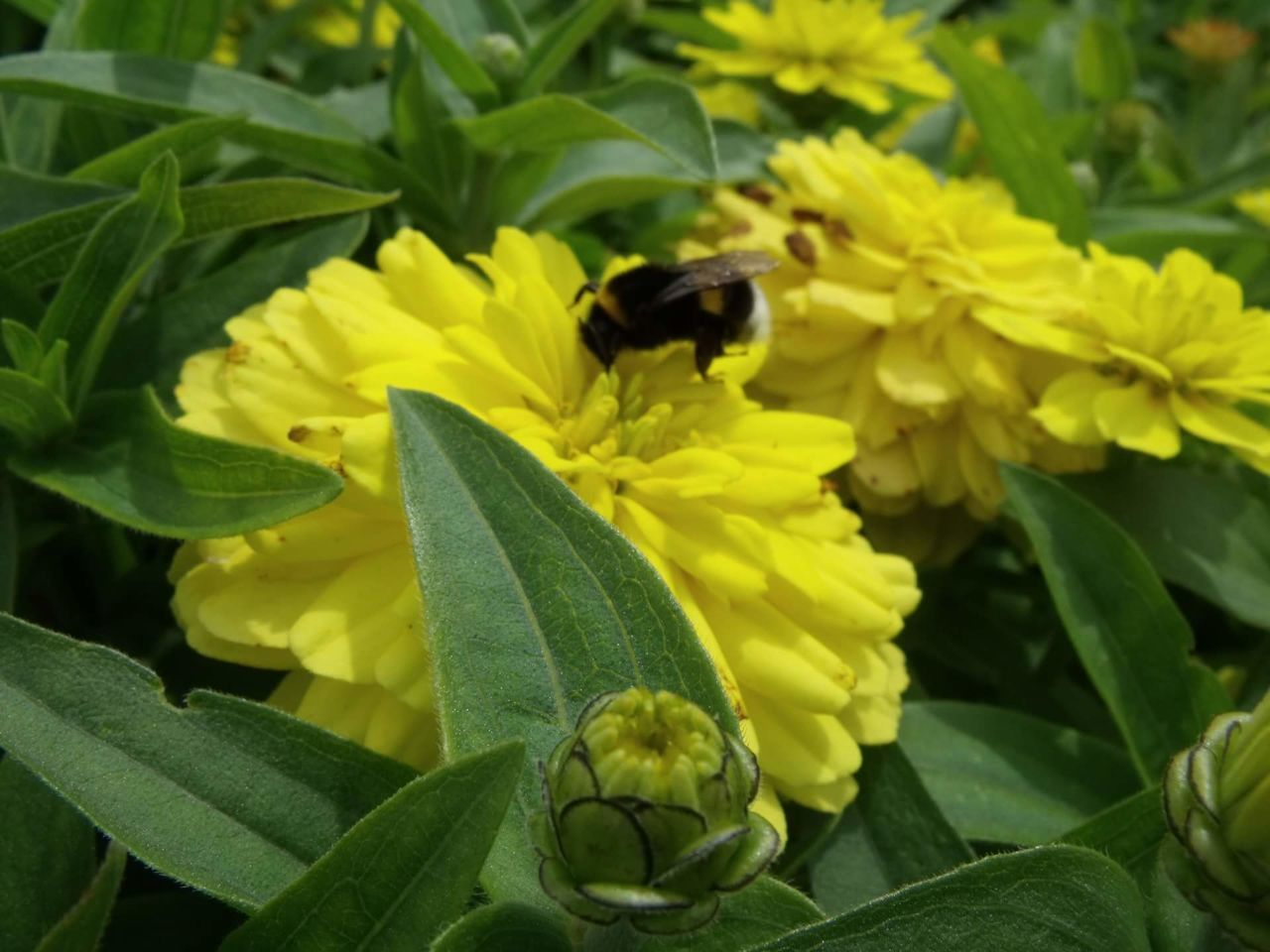 insect, one animal, animal themes, flower, animals in the wild, growth, leaf, plant, nature, petal, fragility, yellow, outdoors, bee, freshness, day, beauty in nature, green color, animal wildlife, no people, flower head, close-up, pollination, blooming, bumblebee, buzzing
