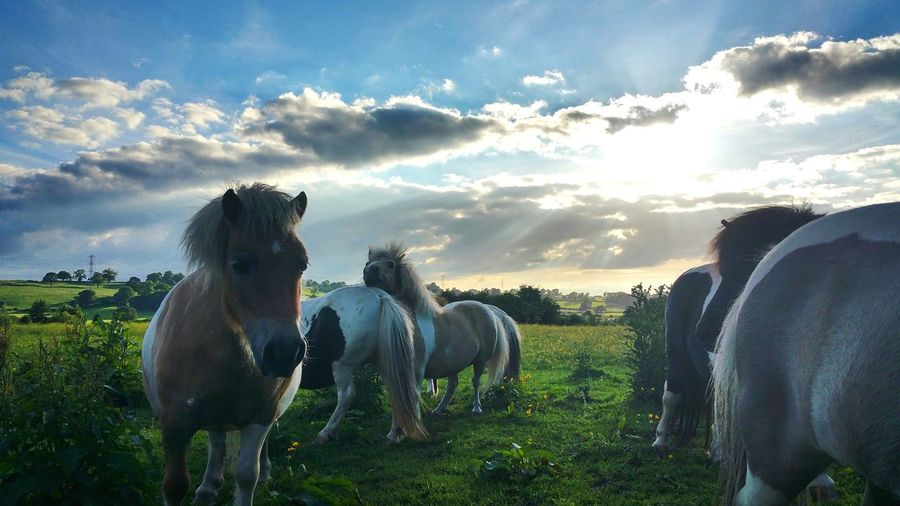 Ponies on grassy field against cloudy sky