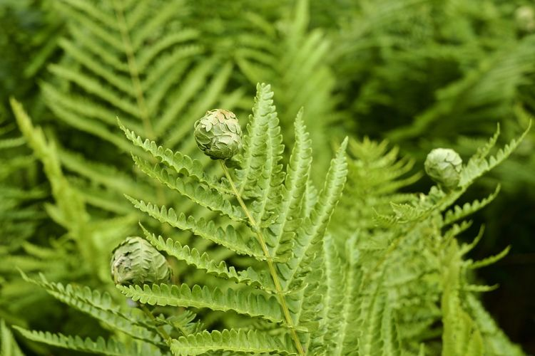 ferns in a forest From Above  Looking Down Sprouting Animal Ball Beauty In Nature Blooming Botany Close-up Coniferous Tree Day Fern Focus On Foreground Freshness Green Color Growth High Angle View Leaf Leaves Nature No People Opening Outdoors Plant Plant Part Process Selective Focus Vegetation