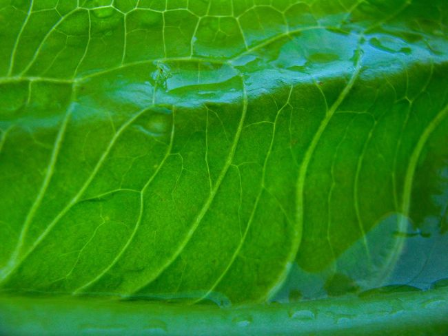 wet lettuce leaf Leaf Vein Wet Lettuce Leaf Lettuce Leaves Lettuce Leaf Water Backgrounds Close-up Green Color Plant