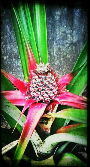 Pineapple in the backyard