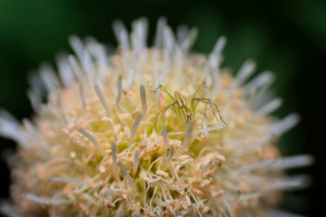 Spider Flower Spider And Flower Macro Macro Photography Macro_collection Macro Insects Macro Nature Natural Nature Beauty In Nature Animal Photography Animals In The Wild Animal Themes Selective Focus Green Macro Beauty Insect