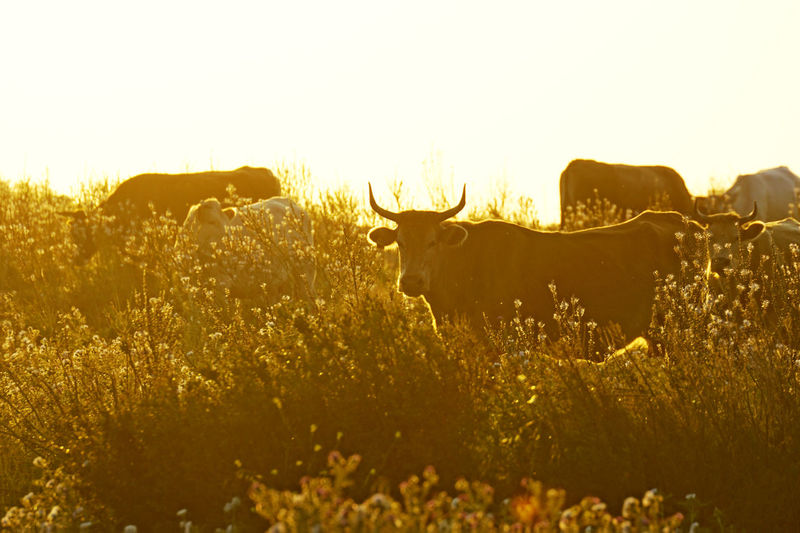 Sicilian Cows at Sunset Animal Themes Animal Wildlife Backlight Beauty In Nature Bull Cattle Cows Day Field Flock Grass Grazing Grazing Cattle Herd Mammal Nature No People Outdoors Sicily Silhouette Siracusa Stag Sunlight Sunset Sunset Silhouettes