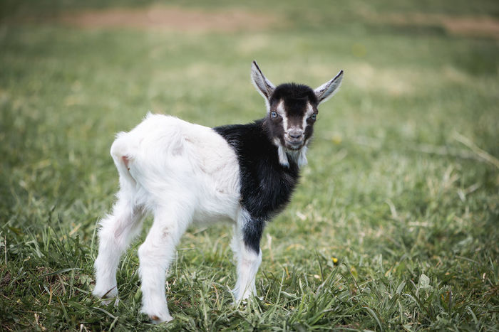 Animal Themes Backgrounds Black And White Cattle Breeding Day Domestic Animals Farm Farm Life Field Goat Goats Grass Green Color Lamb Latvia Livestock Mammal Nature No People One Animal Outdoors Pasture Pets Yeanling Young Animal Pet Portraits