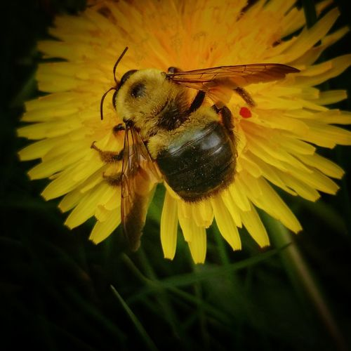 Flower Fragility Petal Insect Beauty In Nature Nature Close-up Flower Head Yellow Pollen No People Bee Outdoors Growth Plant EyeEm Best Shots Springtime Macro Macro Photography Bee 🐝 Carpenter Bee Pollination Collecting Nectar Dandelion Save The Bees