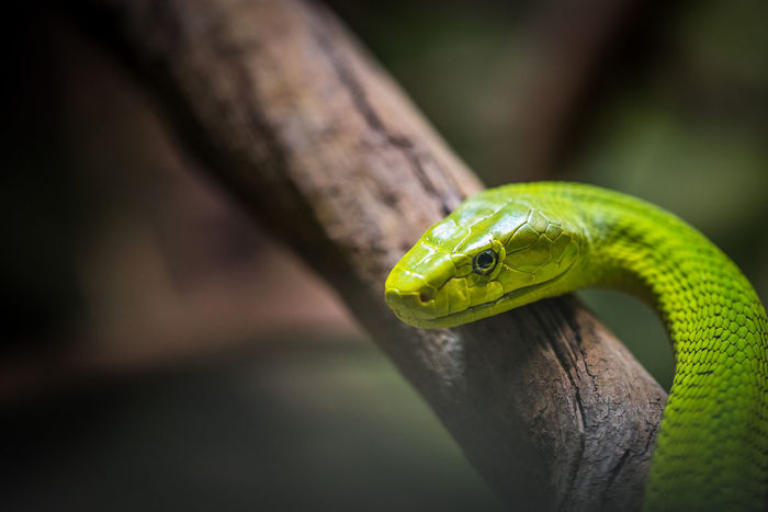 green mamba close up Green Mamba Animal Animal Head  Animal Themes Animal Wildlife Animals In The Wild Close-up Focus On Foreground Green Color Mamba Nature No People One Animal Poisonous Reptile Snake Vertebrate
