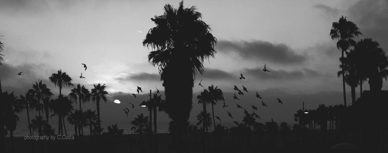 Sunset Glide California Travel Blackandwhite Birds Palm Trees Visitcalifornia Venice Beach