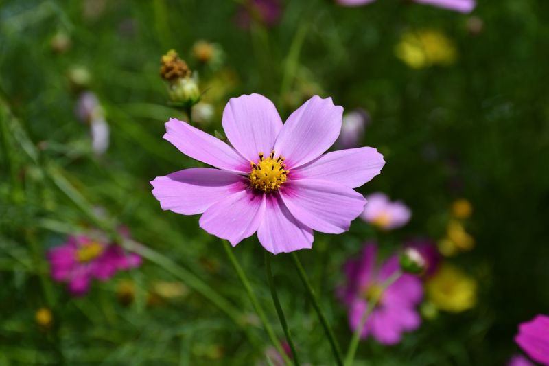 One Of My Favorite Cosmos Flower Freshness Vulnerability  Fragility Petal Plant Beauty In Nature Close-up Pink Color Pollen Flower Head