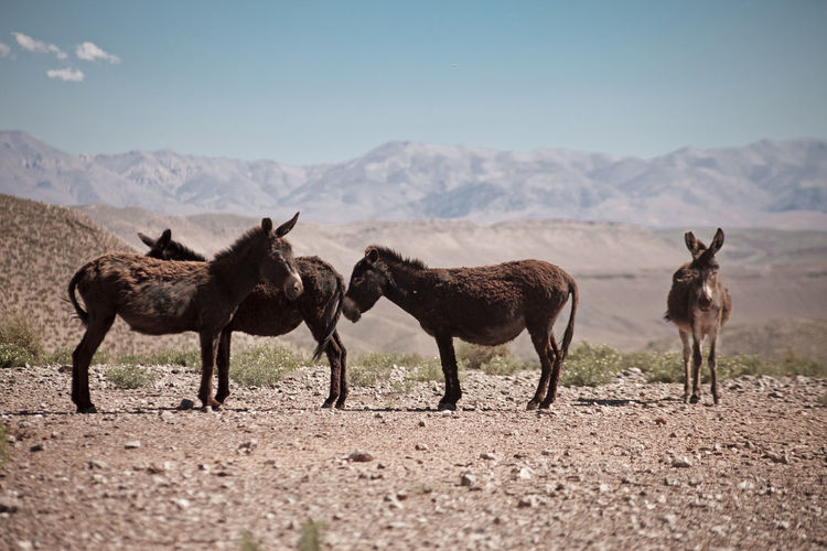 Donkeys standing on land against mountains