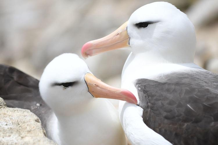 High angle close-up of black-browed albatross at falkland islands