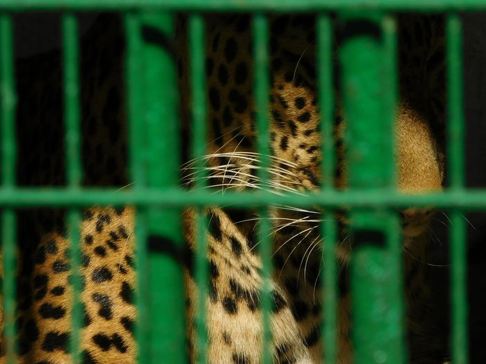 Leopard in cage
