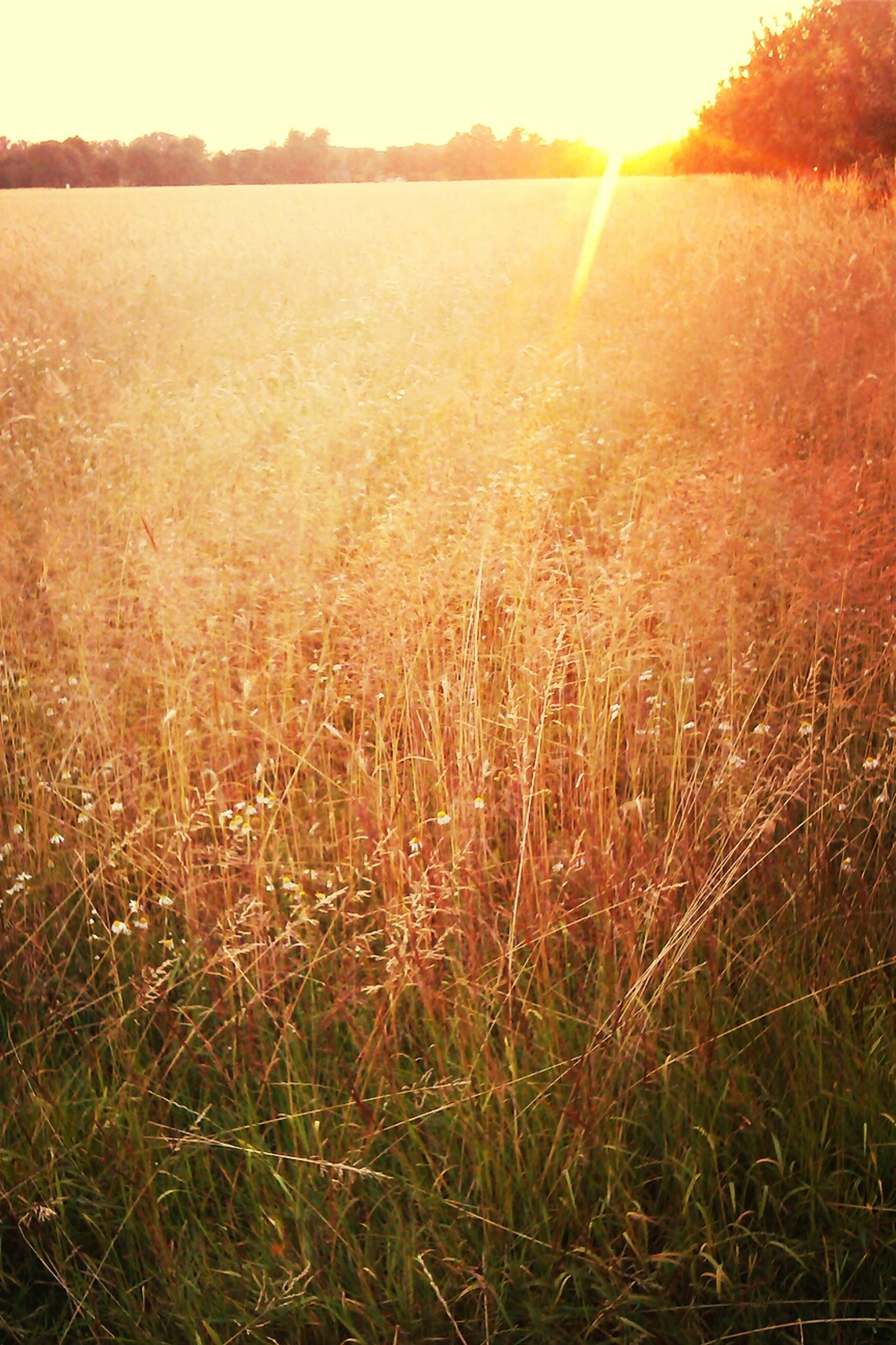 sun, sunbeam, sunlight, grass, lens flare, field, tranquility, tranquil scene, sunset, landscape, nature, scenics, beauty in nature, growth, plant, grassy, bright, sunny, sky, outdoors