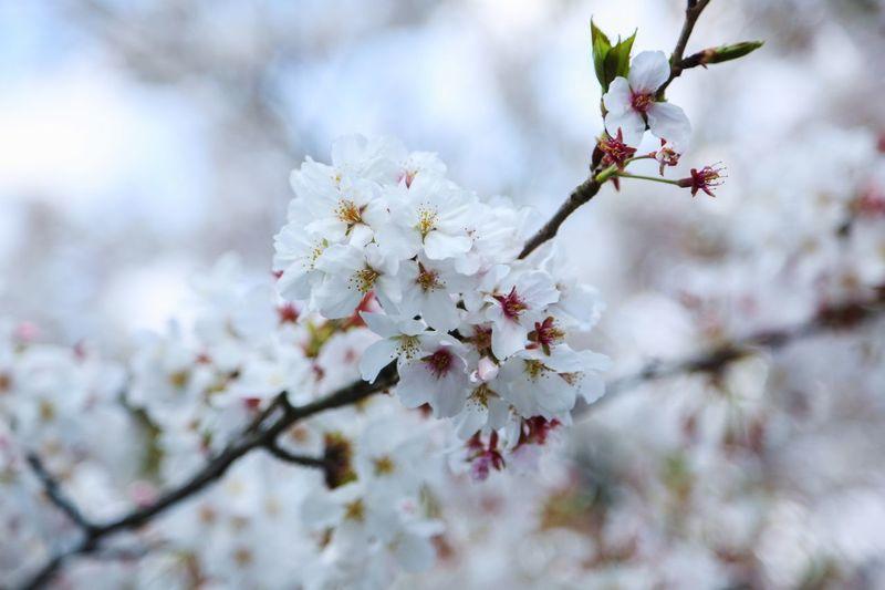 Flower Blossom Cherry Blossom Springtime Tree White Color Beauty In Nature Botany Branch Cherry Tree Petal