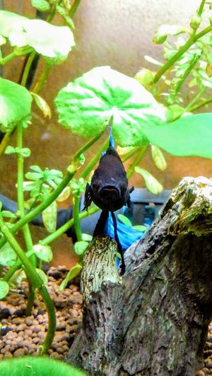 my lovely bettafish Betta  Betta Splendens Bettafish Bettafishcommunity Animal Themes Animals In The Wild Nature No People Day Outdoors Animal Wildlife Beauty In Nature One Animal Plant Leaf
