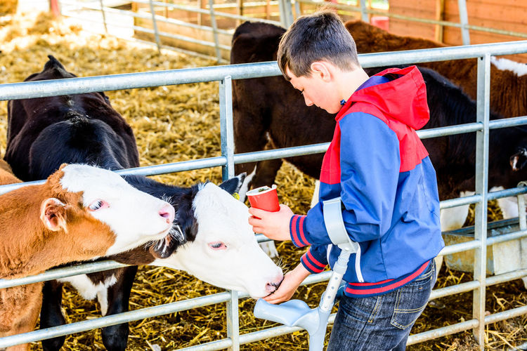Boy with crutches feeding cows while standing at farm