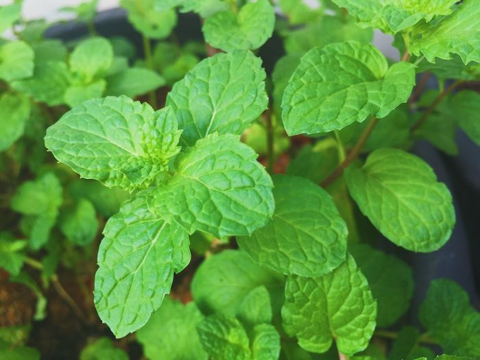 Leaf Green Color Growth Plant Close-up Nature Freshness Outdoors Healthy Eating Beauty In Nature Mint Garden Gardening