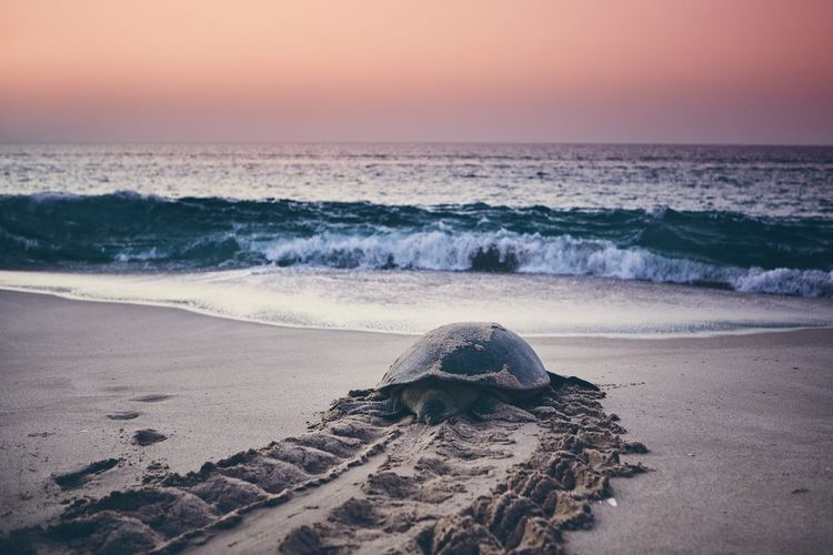 Tortoise at beach against sky during sunset
