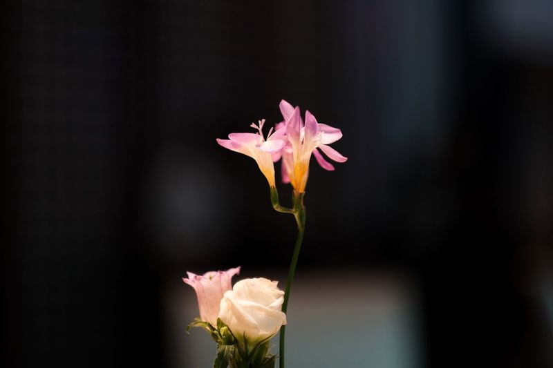 Blur Background Blur Flower Photography Flowers, Nature And Beauty Flowers Flowering Plant Flower Freshness Petal Plant Beauty In Nature Close-up Vulnerability  Fragility Growth Inflorescence Flower Head Pink Color Focus On Foreground Plant Stem Nature Botany Pollen
