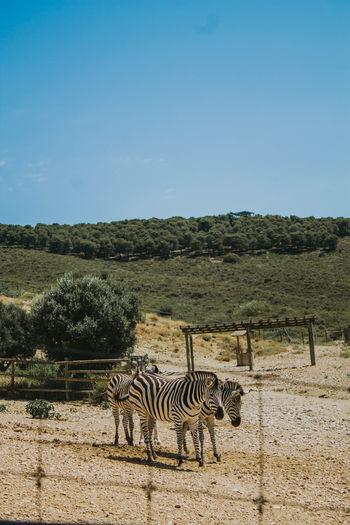 Zebras in zoo against blue sky