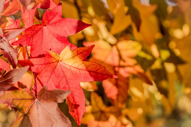 Change Plant Part Autumn Leaf Close-up Maple Leaf Beauty In Nature Plant Focus On Foreground Nature Leaves Tree No People Maple Tree Day Orange Color Yellow Outdoors Branch Leaf Vein Natural Condition Autumn Collection Fall