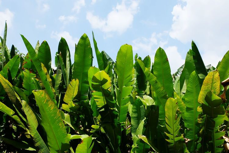 Growth Green Color Plant Sky Leaf Close-up Low Angle View Nature Green Beauty In Nature Field Outdoors Crop  Growing Lush Foliage Tranquility Scenics Tranquil Scene Agriculture Freshness