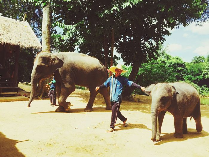 Elephant Mammal Domestic Animals Working Animal Men Asian Elephant Nature Pets One Person Thailand Storyformylife