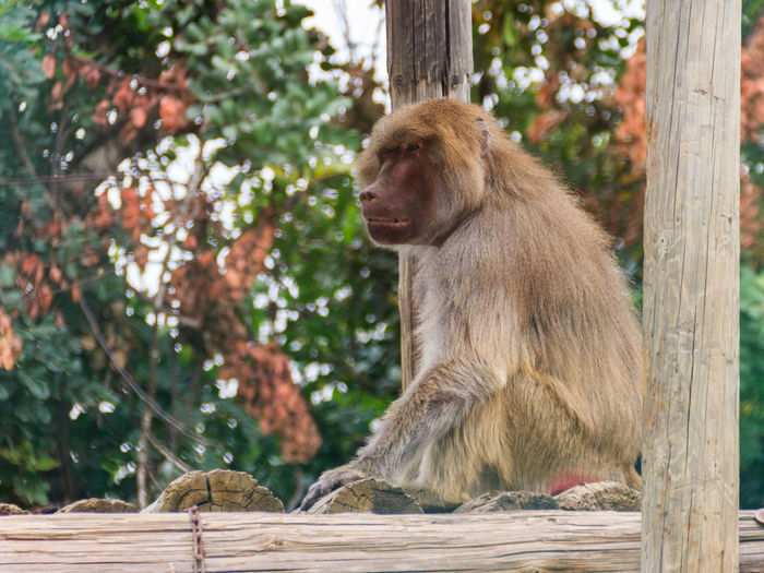 baboon sitting on logs and looks into the distance Animal Themes Ape Baboon Baulks Beam Block Copycat Cynocephalus Day Hamadryas Baboon Jocko. 💘 Leaves Log Look, Watch Looks Mammal Mimic Monkey No People Papion Simian Sitting Stockholm Timber Watch