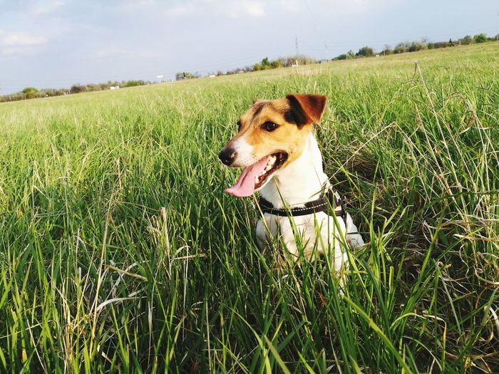 Dog Pets One Animal Grass Day Outdoors Sky No People Nature Domestic Animals Mammal Animal Themes Spring Nature Sunshine ☀ Jackrussell Jack Russell Terrier Dog Of Eyeem