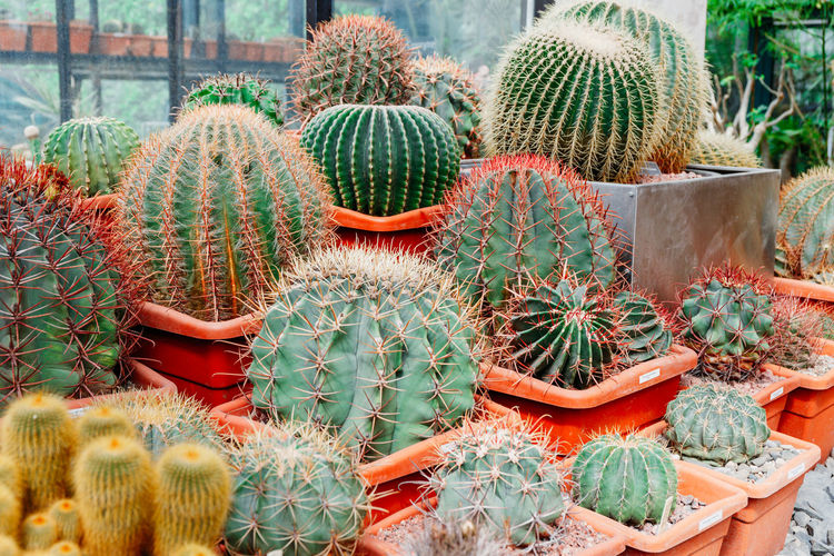 Cactus Succulent Plant Thorn Sharp Barrel Cactus Spiked Green Color Growth Potted Plant Plant Day Nature No People Beauty In Nature Sign Full Frame Outdoors Botany Field Large Group Of Objects Plant Nursery Retail Display Flower Pot