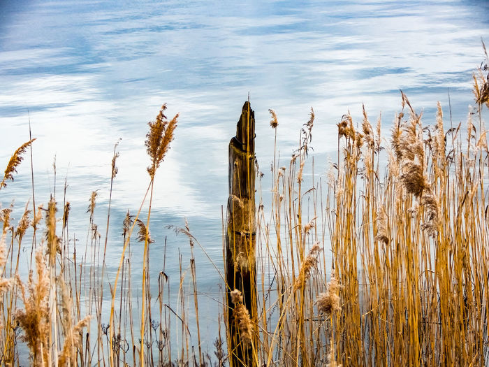 Close-up of dry grass by lake against sky