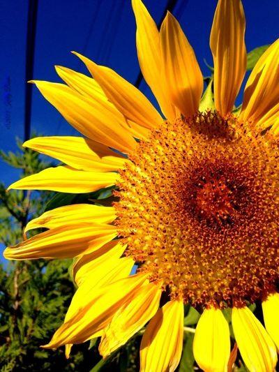EyeEm New Jersey Flowers Sunflowers Happy