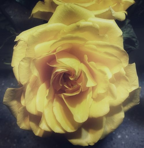 Subdued yellow rose from a funeral bouquet. Rosé Flower Yellow