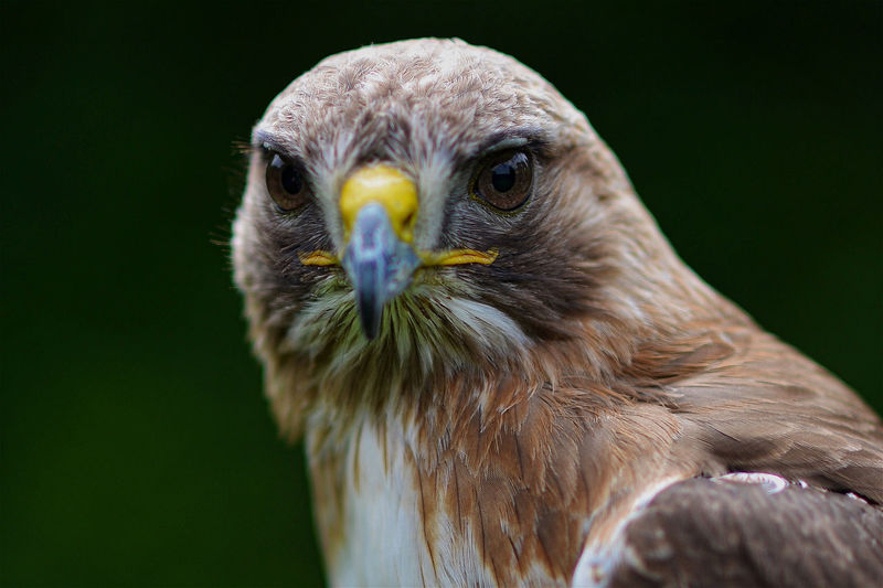 Close-up portrait of eagle against blurred background