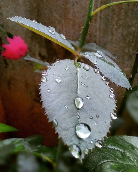 Rain drops made their new home on the leaves. Some struggled on the way to earth, some lost in between and some joined the water bodies. Afterrain Raindrops Settledown Leaves Nature Roseplant Roseleaves Water Droplets Southindia Tamilnadu