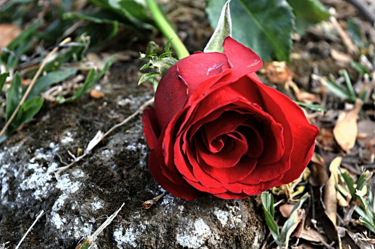 Flower Collection Flowers And Roses Taking Photos EyeEm Natue Lover Love just like Roses thorn but beautiful..