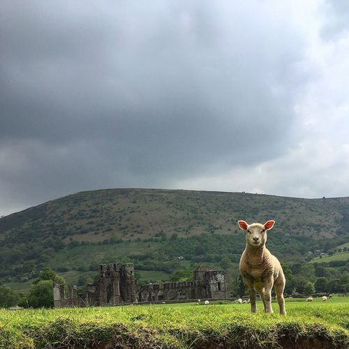 Sheep on field at llanthony priory against sky