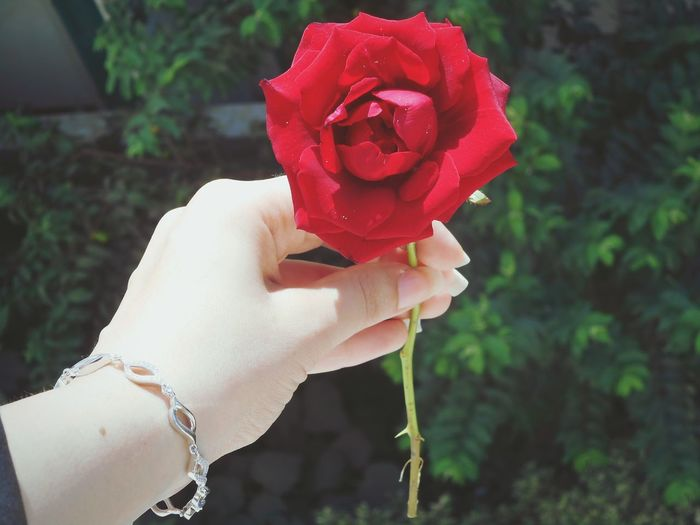 Flower Rose - Flower Beauty In Nature Nature Rosé Single Flower Mycam 📷 Digicam Red Freshness Flower Head Surprise Love_flowers Love Home Garden Egypt New_damiette_city Freshness Red Amazing Wonderful Yoya WOW Followme
