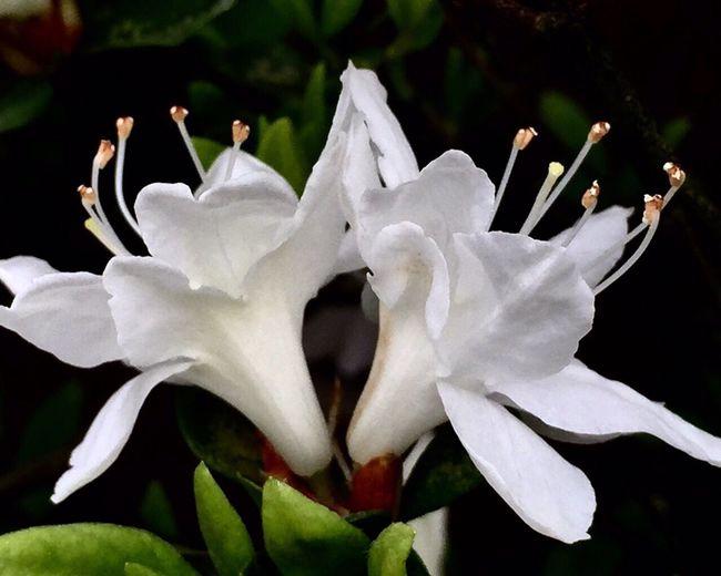 花卉 ——冷艳高贵的白杜鹃